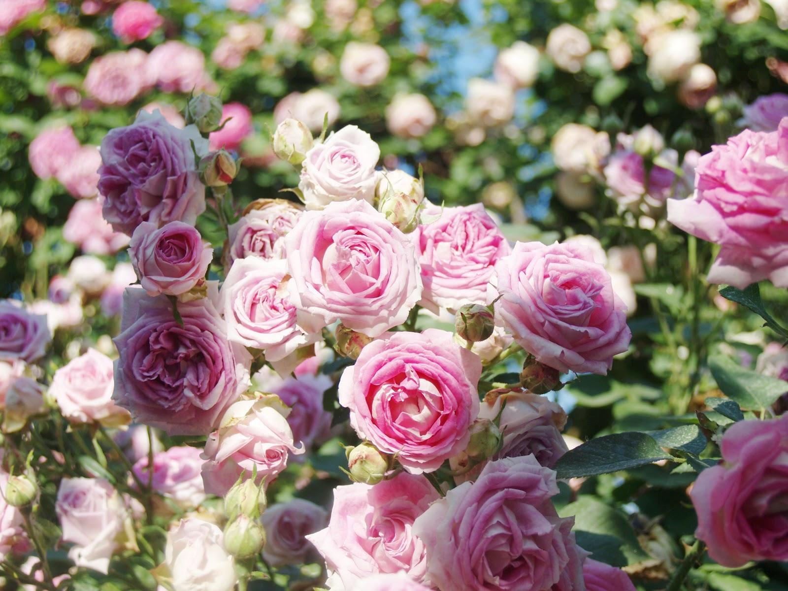 Selezionare il giusto tipo di rose mamme magazine - Rose coltivazione in giardino ...