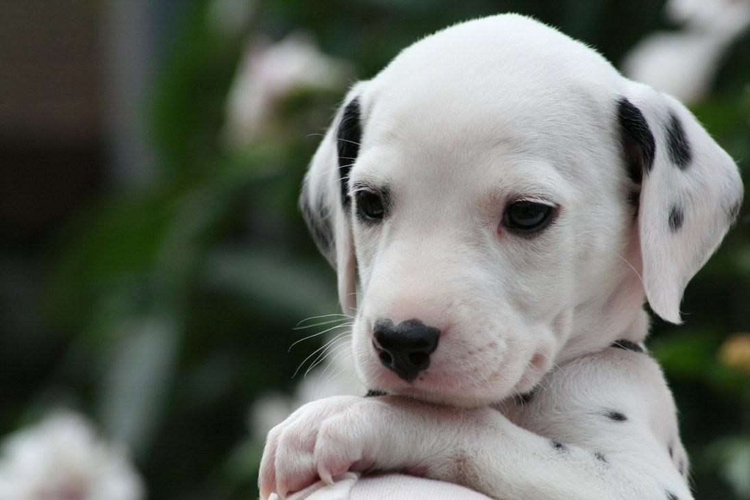 Come Scegliere Un Cucciolo Di Cane Dalmata Mamme Magazine