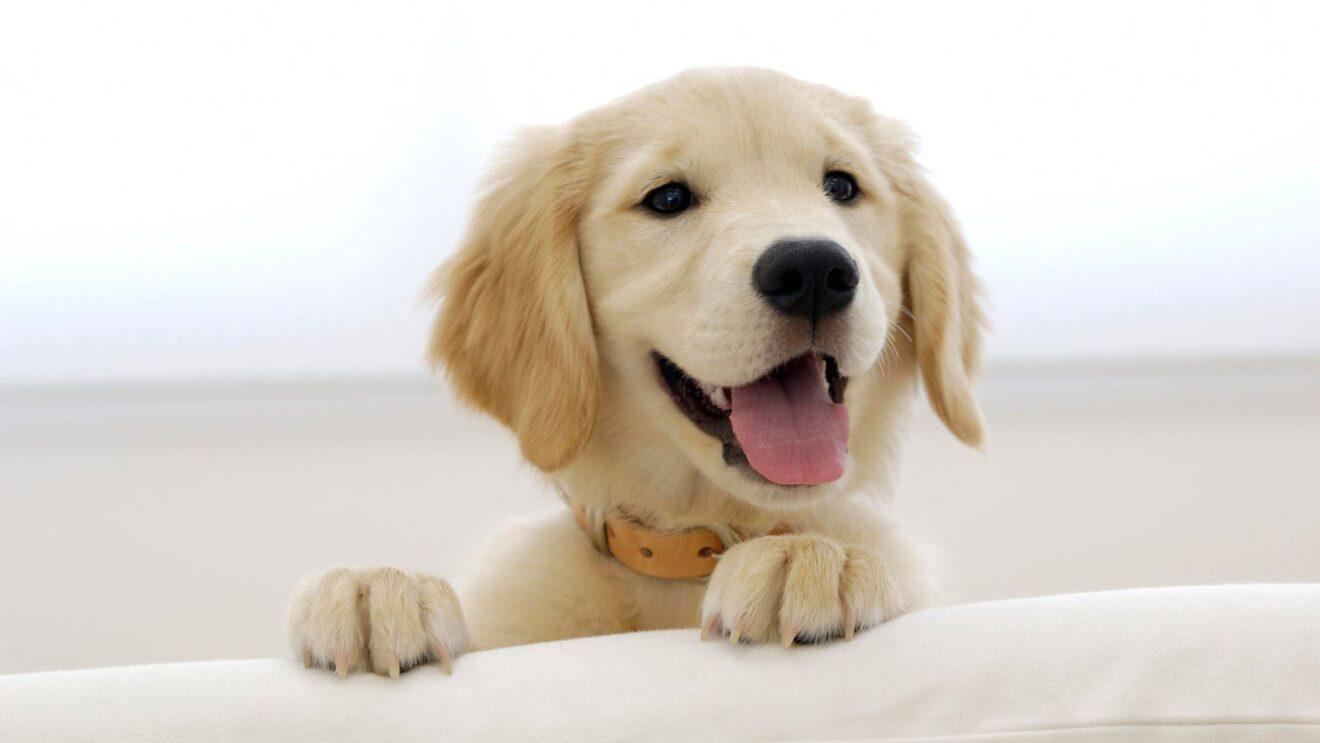 Come sceglie il cucciolo di cane labrador mamme magazine - Cucciolo da colorare stampabili ...