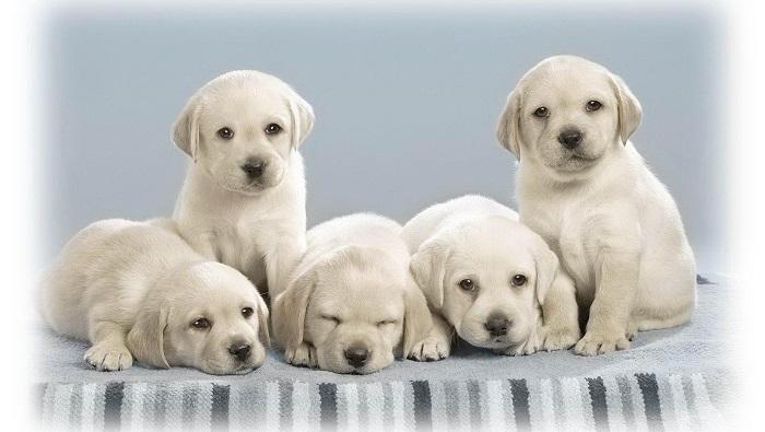 Perché I Labrador Sono Cani Ideali Per I Bambini Mamme Magazine