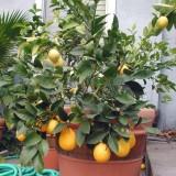 tempistiche per crescita per piante di limoni