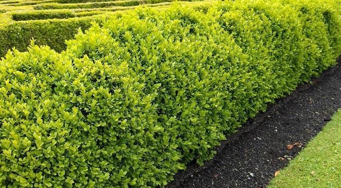 Come far crescere velocemente le siepi giardino mamme - Siepi ornamentali da giardino ...