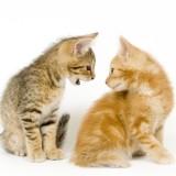 cosa-fare-se-i-vostri-gatti-litigano_2d8e0125b5792e986c6bb1c9a8df9d8f