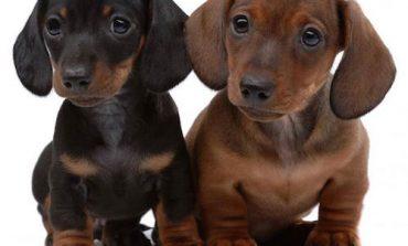 Lista razze cani piccola taglia pelo corto