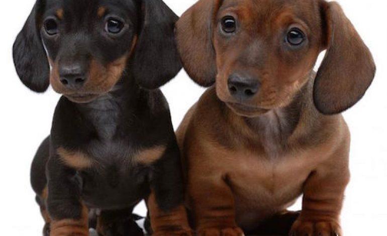 Lista razze cani piccola taglia pelo corto mamme magazine for Marsupio per cani di piccola taglia
