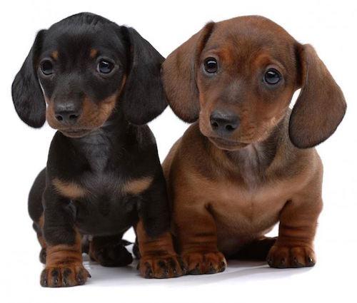 Cani taglia media e pelo corto