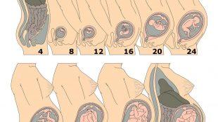 Utero in gravidanza