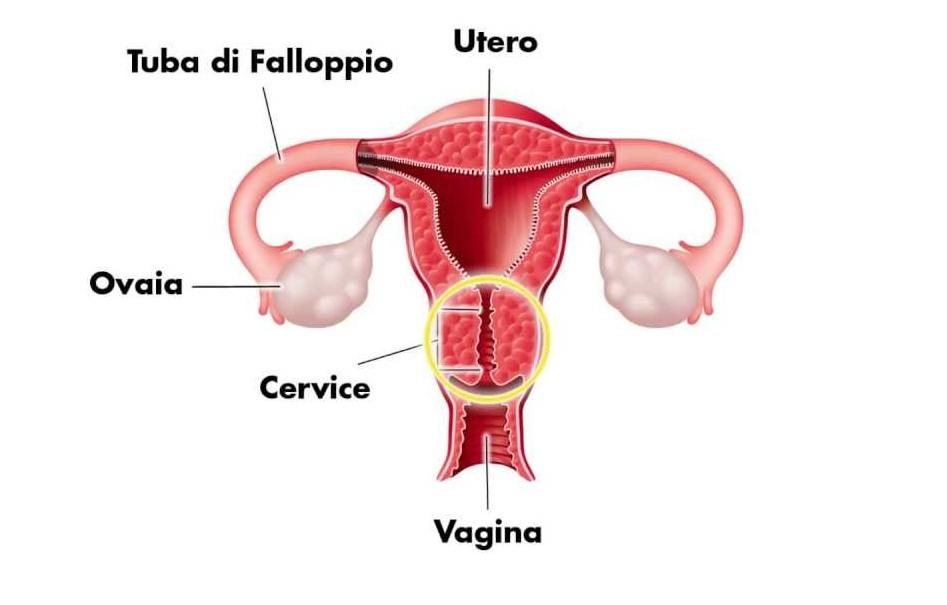 Utero e cervice in gravidanza come cambiano nei mesi - Sensazione di bagnato prima del ciclo o gravidanza ...